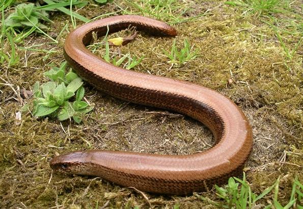 Lizard That Looks Like a Snake With Legs he Looks Like a Snake