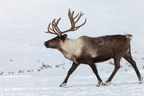 A reindeer enjoying the snow