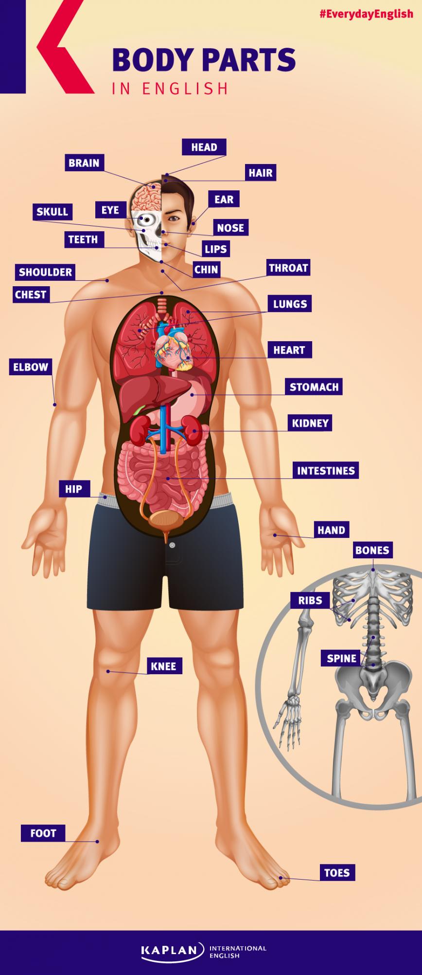 El cuerpo humano en inglés | Kaplan Blog